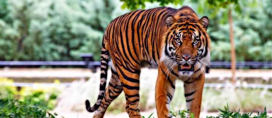 carriere tijger
